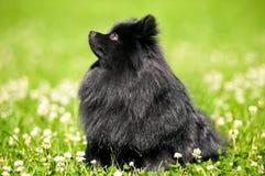 Shpitz negro en hierba verde en parque del verano Imagen de archivo libre de regalías