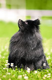 Shpitz negro en hierba verde en parque del verano Imágenes de archivo libres de regalías