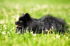 Shpitz negro en hierba verde en parque del verano Foto de archivo