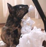 shreader kittie Zdjęcie Stock
