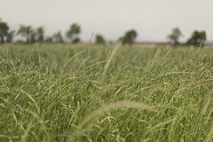 A shredded fodder field. Wheel. Field of forage Stock Photo