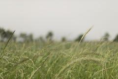 A shredded fodder field. Wheel. Field of forage Royalty Free Stock Photos