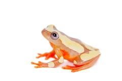 Shreve's Sarayacu treefrog isolated on white Stock Photo