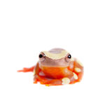 Shreve's Sarayacu treefrog isolated on white Royalty Free Stock Photos