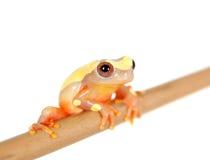 Shreve's Sarayacu treefrog isolated on white Royalty Free Stock Image