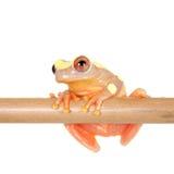 Shreve's Sarayacu treefrog isolated on white Stock Photography