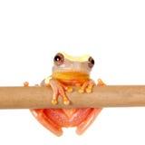 Shreve's Sarayacu treefrog isolated on white Stock Image