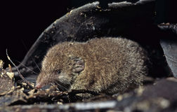 Shrew Royalty Free Stock Photo