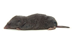Shrew stock images