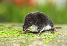 Shrew Stock Photography