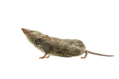 Shrew pointing nose in the air. Greater White-toothed shrew (Crocidura russula) pointing its nose in the air, isolated on white background Stock Photo