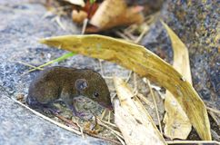 Shrew on the rock Stock Image
