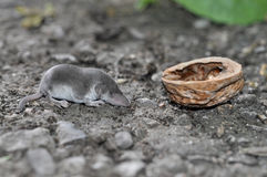 Shrew. Young insectivorous mammal Stock Photos