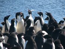 Shrieking Adelie penguins Stock Images