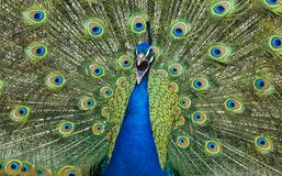 Shrieking peacock framed by colorful plumage - Portrait. Shrieking male peacock framed by colorful plumage - Portrait, Asia, feathers in blue, green, turquoise Stock Photos