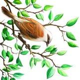 Shrike。 在树枝的鸟。 图库摄影