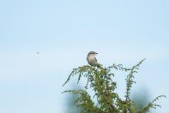 Shrike και μια μύγα Στοκ Φωτογραφίες