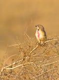 shrike залатанное bush румяное Стоковые Фотографии RF