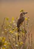 shrike залатанное bush румяное стоковое изображение