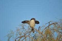 Shrike серого цвета Greate стоковое изображение rf