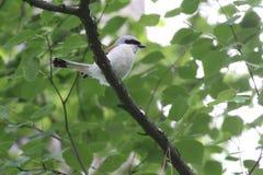 shrike 一点灰色shrike或拉尼厄斯较小栖息处在树的分支 乌克兰, 2017年 图库摄影