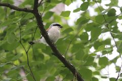 shrike 一点灰色shrike或拉尼厄斯较小栖息处在树的分支 乌克兰, 2017年 免版税库存照片