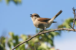 Shrike Stock Photo