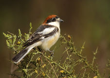 Shrike Royalty Free Stock Photography