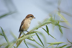 Shrike Royalty Free Stock Images