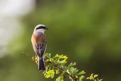Κόκκινος-υποστηριγμένο αρσενικό Shrike με την πίσω λεπτομέρεια Στοκ Φωτογραφίες