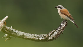 Shrike auf einem Zweig Stockfoto