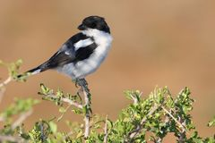 Shrike Bird Stock Photo