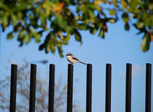 Shrike bird on fence post. Male Loggerhead Shrike perched on an iron fence post royalty free stock photos