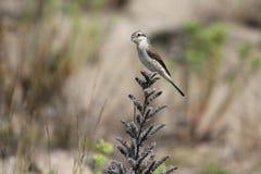 Shrike. A shrike bird landed on a twig Stock Photo