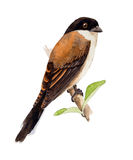 Shrike birmano Libre Illustration