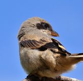 Shrike on blue sky Stock Photos
