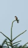 Shrike Royalty Free Stock Image