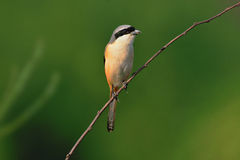 A Shrike on branch Royalty Free Stock Image