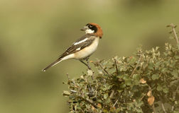 Shrike on the branches royalty free stock images
