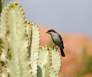 Shrike on cactus Stock Image
