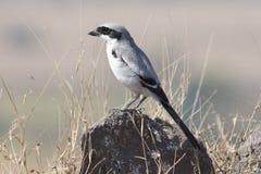 Shrike cinzento Fotografia de Stock