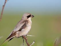 Shrike cinzento pequeno na árvore do espinho Fotos de Stock Royalty Free