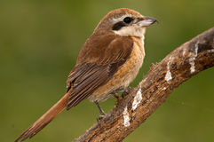Shrike closeup Stock Photography