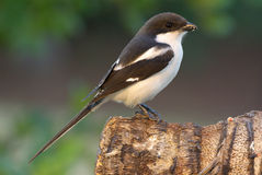 Shrike Common Fiscal lanius collaris. Shrike Common Fiscal adult male Royalty Free Stock Photos