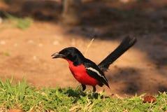 Shrike, Crimsonbreasted - stordire Africa Fotografia Stock Libera da Diritti
