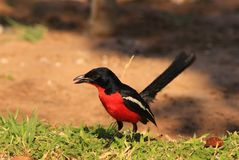 Shrike, Crimsonbreasted - Stunning Africa Royalty Free Stock Photo