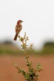 Shrike de Woodchat Fotografía de archivo libre de regalías