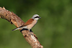 Shrike desserré rouge Collurio de Lanius Photos libres de droits