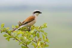 Shrike desserré rouge - mâle Images libres de droits