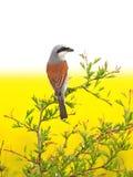 Shrike di appoggio rosso Immagini Stock